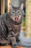 Bocejos do gato de gato malhado Fotos de Stock