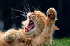 Bocejos do gato do gengibre fotos de stock