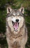 Bocejos do lobo de madeira (lúpus de Canis) Imagem de Stock Royalty Free