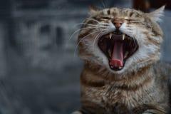 Bocejos listrados bonitos do gato imagens de stock royalty free