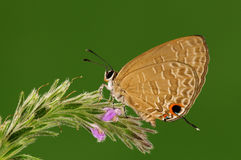 Bochus/мужчина/бабочка Jamides Стоковая Фотография
