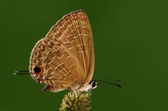 Bochus /butterfly Jamides Стоковое фото RF