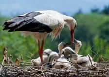 Bocian jest karmi jego dzieciaków Fotografia Royalty Free
