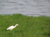 Bocian lub egret w zielonym tle Zdjęcia Royalty Free