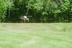 Bocian na zielonej trawie Fotografia Royalty Free