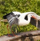 Bocian robi swój gniazdeczku Zdjęcia Royalty Free