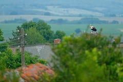 Bocian z pięknym krajobrazem Gniazdować bir, natury siedlisko Przyrody scena od natury Ranku słońce z ptakiem w zielonym vegeta Zdjęcia Stock