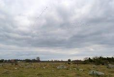 Bocianowi ptaki przychodzą Szwecja Fotografia Royalty Free