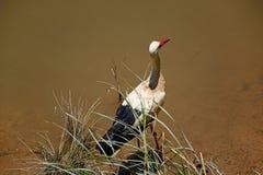 Bocianowy watować w rzece, Silves, Portugalia Obraz Royalty Free