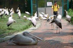Bociany i pelikan Obraz Royalty Free