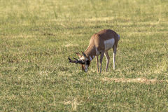 Bock för Pronghorn antilop arkivfoto