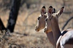 Bock för två impala Arkivbilder