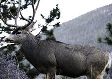 Bock i Colorado Arkivbilder