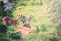 Bock och Fawn Whitetail Deer Royaltyfria Bilder