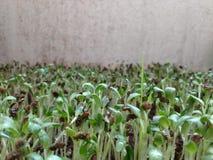 Bockhornsklöver i gräsmatta royaltyfri bild