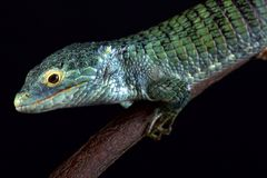 Bocourt`s arboreal alligator lizard Abronia vasconcelosii. Is endemic to the Sierra Madre de Chiapas region in Guatemala stock image