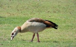 Boczna fotografia kaczki łasowanie zdjęcia royalty free