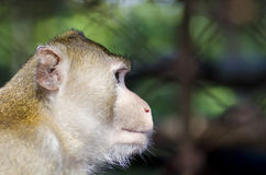 Boczna portret małpa Fotografia Stock