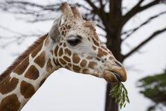 Bocznego widoku głowa Siatkująca żyrafa Obrazy Stock