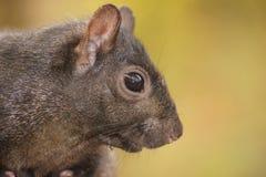 Bocznego widoku zakończenie up czarna wiewiórka Obrazy Royalty Free