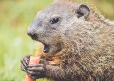 Bocznego widoku zbliżenie Woodchuck szeroko otwarty usta Zdjęcia Stock