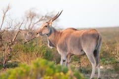 boczny eland widok Zdjęcia Stock