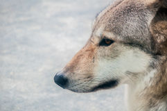 Boczny portret wilk Fotografia Royalty Free