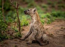 Boczny profil Łaciasty hieny lisiątko w Kruger parku narodowym, Południowa Afryka Obrazy Stock