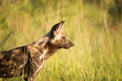 Boczny profil Afrykański dziki pies w Kruger parku narodowym, Południowa Afryka Obraz Stock