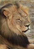 Boczny profil Cecil ikonowy Hwange lew Fotografia Stock