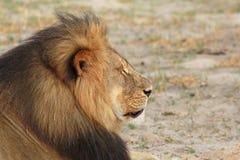 Boczny profil Cecil ikonowy Hwange lew obraz stock
