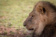 Boczny profil duży męski lew Obrazy Royalty Free