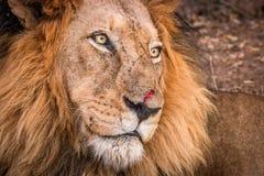 Boczny profil lew w Kruger parku narodowym, Południowa Afryka Zdjęcia Stock