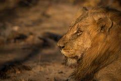Boczny profil lew w Kruger parku narodowym, Południowa Afryka Zdjęcie Royalty Free
