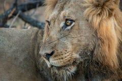 Boczny profil męski lew Fotografia Royalty Free