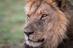 Boczny profil męski lew Zdjęcie Royalty Free
