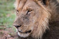 Boczny profil męski lew Obrazy Royalty Free