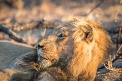 Boczny profil męski lew w Kruger Fotografia Royalty Free