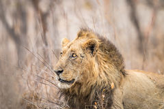 Boczny profil ogromny męski lew Fotografia Stock
