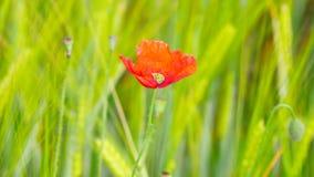 Boczny szczegółu widok czerwony makowy kwiat z świeżym zielonym pszenicznym polem na tle Kwiaty czerwony maczek zbiory