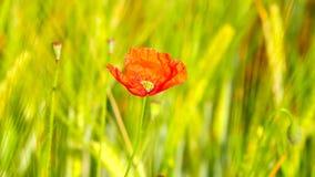 Boczny szczegółu widok czerwony makowy kwiat z świeżym zielonym pszenicznym polem na tle Kwiaty czerwony maczek zdjęcie wideo
