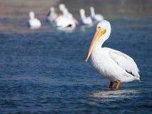 Boczny widok Amerykańska Białego pelikana pozycja w wodzie Obraz Stock