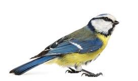 Boczny widok Błękitny Tit, Cyanistes caeruleus Zdjęcia Royalty Free