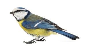Boczny widok Błękitny Tit, Cyanistes caeruleus Obraz Royalty Free