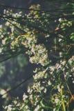 Boczny widok biali kwiaty wiesza od drzew obrazy royalty free
