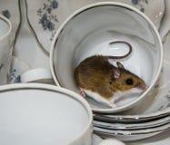Boczny widok brown domowa mysz z kędzierzawym ogonem w herbacianej filiżance Naczynia w tle są błękitni i biali Obraz Stock