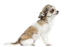 Boczny widok chihuahua szczeniak, 5 miesięcy, odizolowywających Obraz Royalty Free