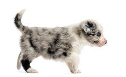 Boczny widok crossbreed szczeniaka odprowadzenie odizolowywający na bielu Zdjęcia Royalty Free
