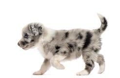 Boczny widok crossbreed szczeniaka odprowadzenie odizolowywający na bielu Obrazy Royalty Free