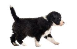 Boczny widok crossbreed szczeniaka odprowadzenie odizolowywający na bielu Obraz Royalty Free